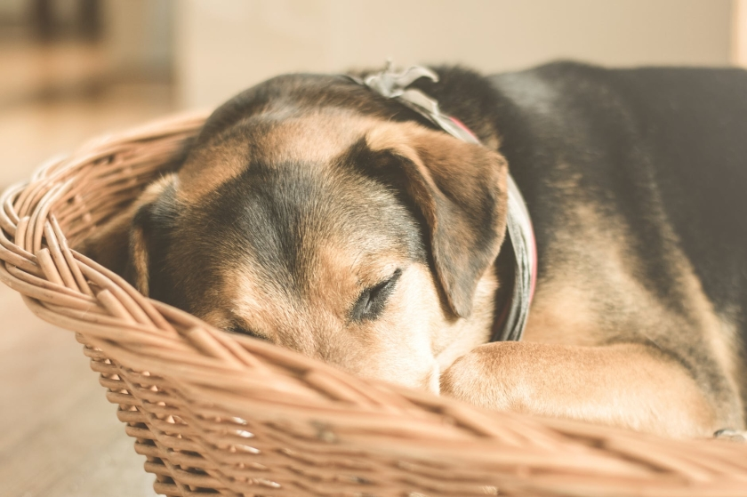 Close up of black and brown hound dog sleeping curled in a willow basket