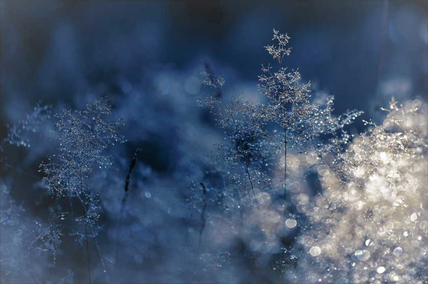 Sunlight on icy, delicate, dried flowers